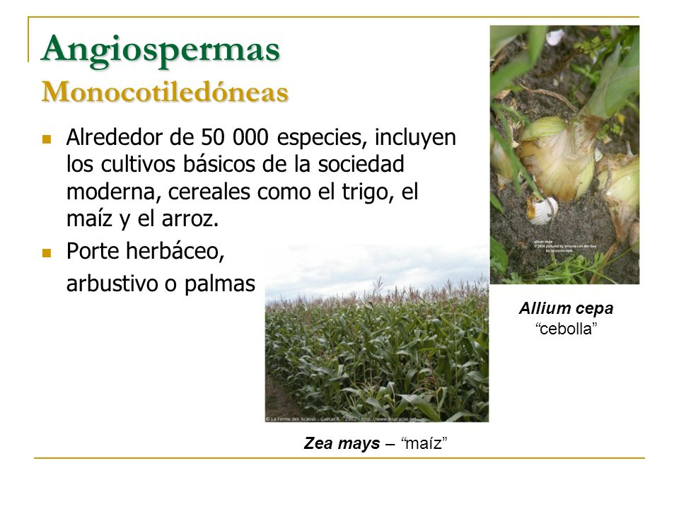 Angiospermas Monocotiledóneas Alrededor de 50 000 especies, incluyen los cultivos básicos de la sociedad moderna, cereales como el trigo, el maíz y el