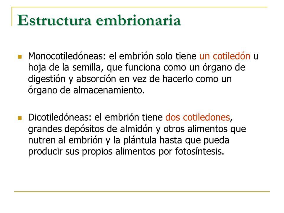Estructura embrionaria Monocotiledóneas: el embrión solo tiene un cotiledón u hoja de la semilla, que funciona como un órgano de digestión y absorción