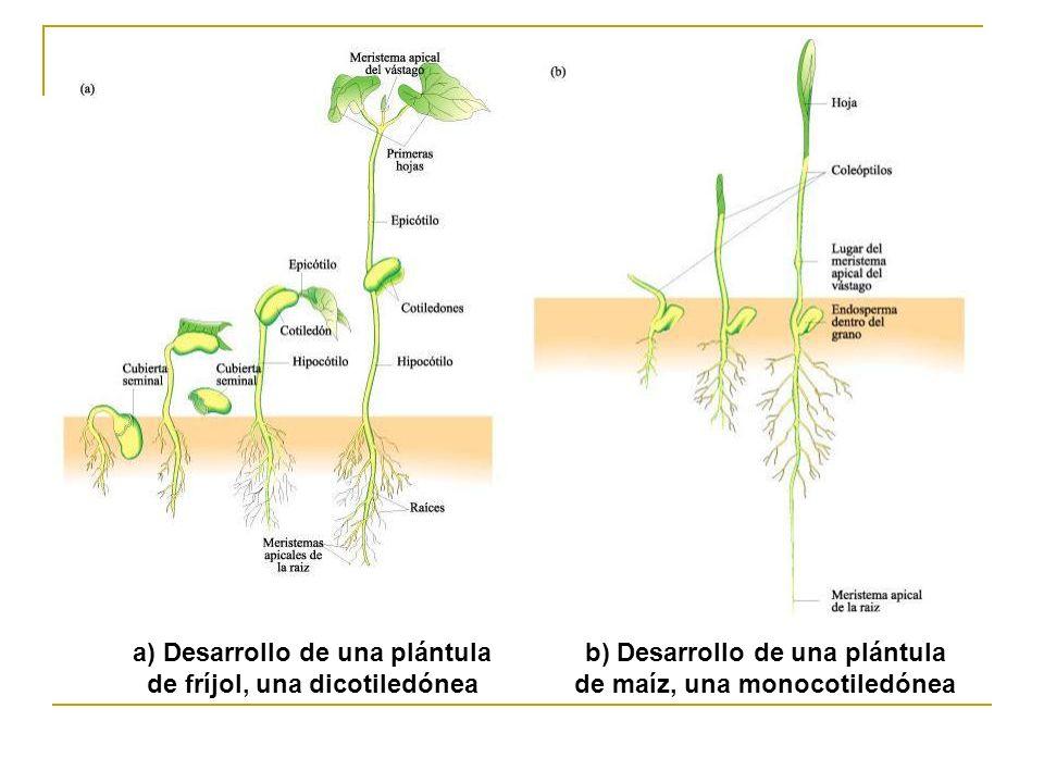 b) Desarrollo de una plántula de maíz, una monocotiledónea a) Desarrollo de una plántula de fríjol, una dicotiledónea