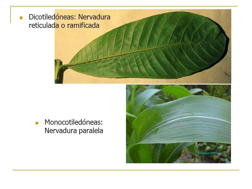 Monocotiledóneas: Nervadura paralela Dicotiledóneas: Nervadura reticulada o ramificada