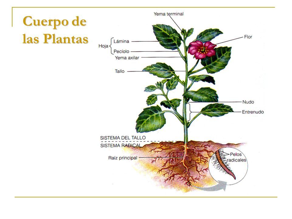 Cuerpo de las Plantas