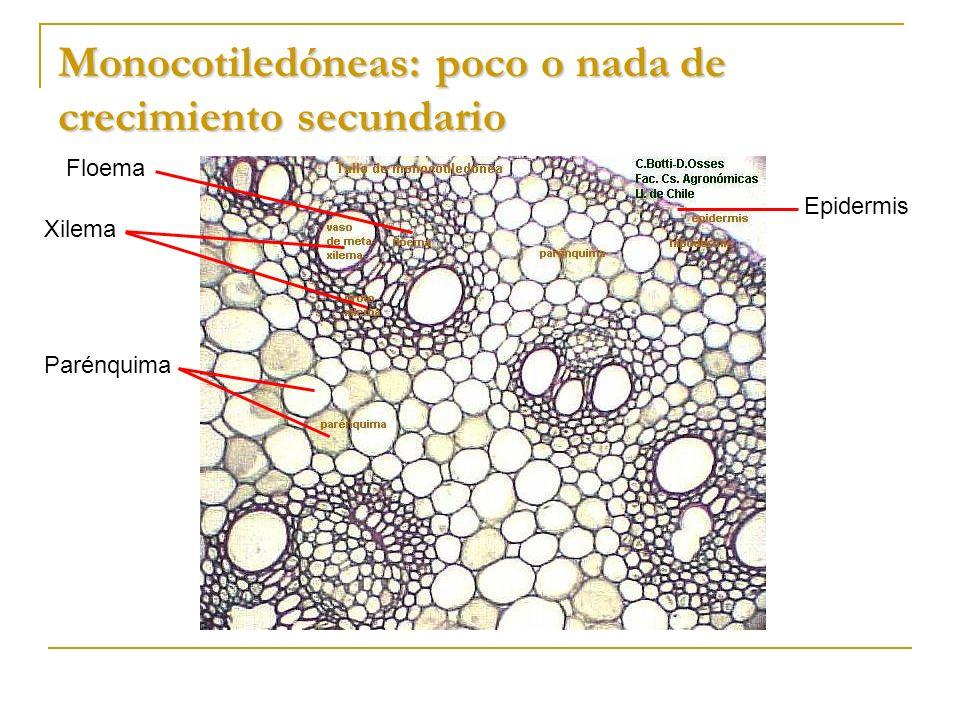 Monocotiledóneas: poco o nada de crecimiento secundario Parénquima Xilema Floema Epidermis