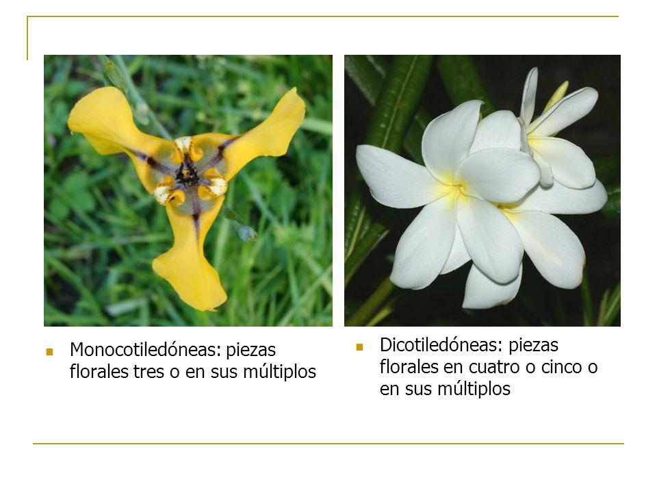Monocotiledóneas: piezas florales tres o en sus múltiplos Dicotiledóneas: piezas florales en cuatro o cinco o en sus múltiplos