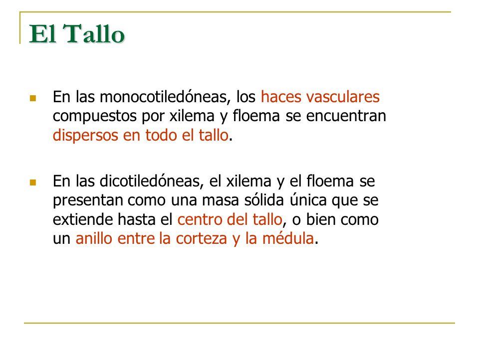 El Tallo En las monocotiledóneas, los haces vasculares compuestos por xilema y floema se encuentran dispersos en todo el tallo. En las dicotiledóneas,