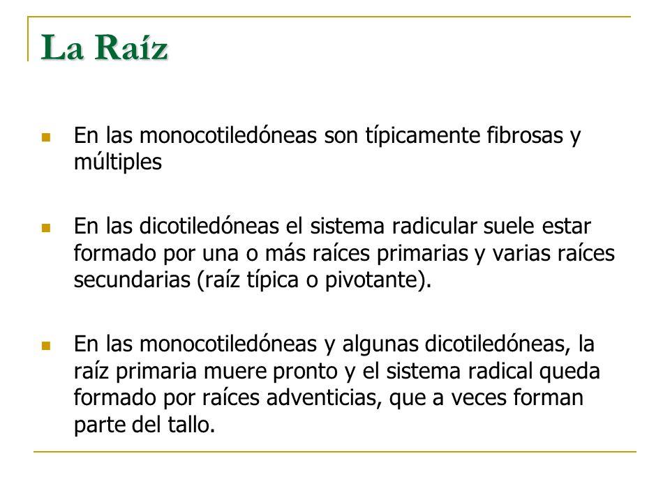 La Raíz En las monocotiledóneas son típicamente fibrosas y múltiples En las dicotiledóneas el sistema radicular suele estar formado por una o más raíc