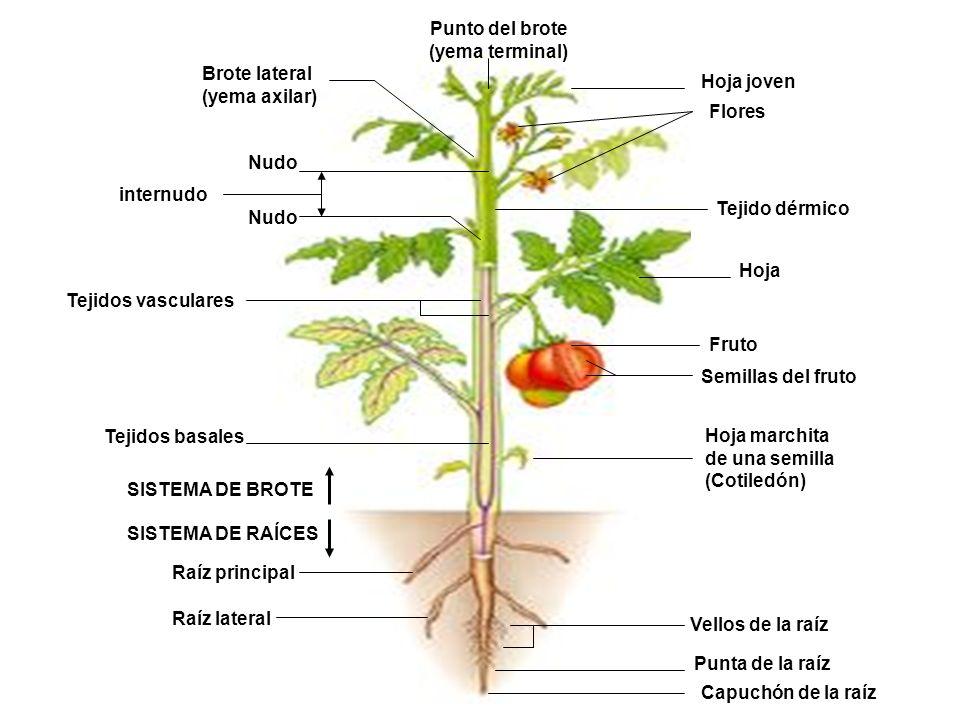 Tejidos basales Tejidos vasculares Tejido dérmico Vellos de la raíz Punta de la raíz Capuchón de la raíz Raíz lateral Raíz principal Hoja marchita de