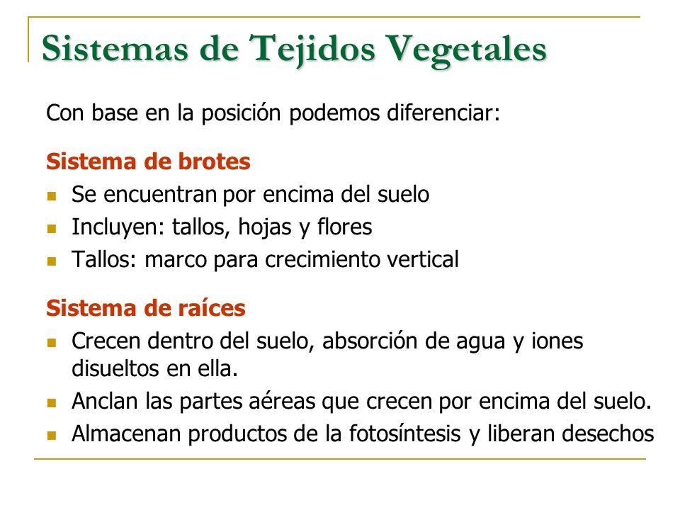 Sistemas de Tejidos Vegetales Los tallos, ramas, hojas y raíces, están formadas por tres sistemas de tejidos principales, según su función: 1.Sistema de tejidos basales: Realizan funciones básicas: Fotosíntesis y el almacenamiento de alimento 2.Sistema de tejidos vasculares: Desplazan el agua, el alimento y otros solutos a todas las partes de la planta 3.Sistema de tejidos dérmicos: Recubre y protege las superficies expuestas