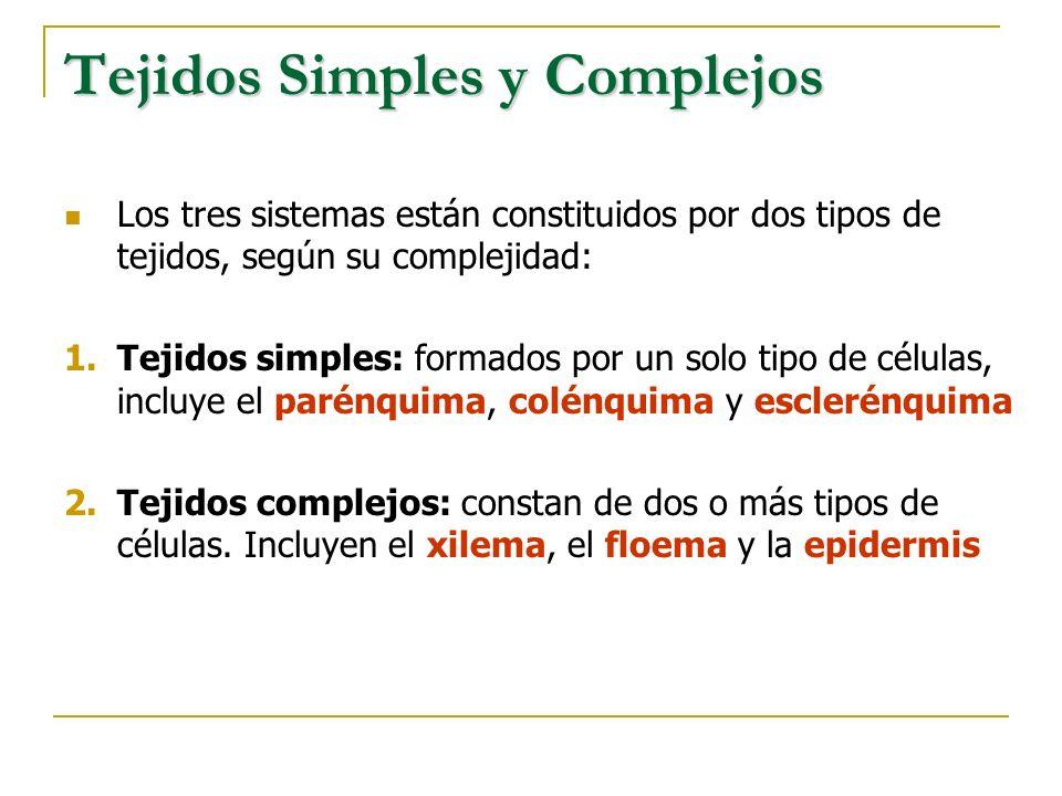 Tejidos Simples y Complejos Los tres sistemas están constituidos por dos tipos de tejidos, según su complejidad: 1.Tejidos simples: formados por un so