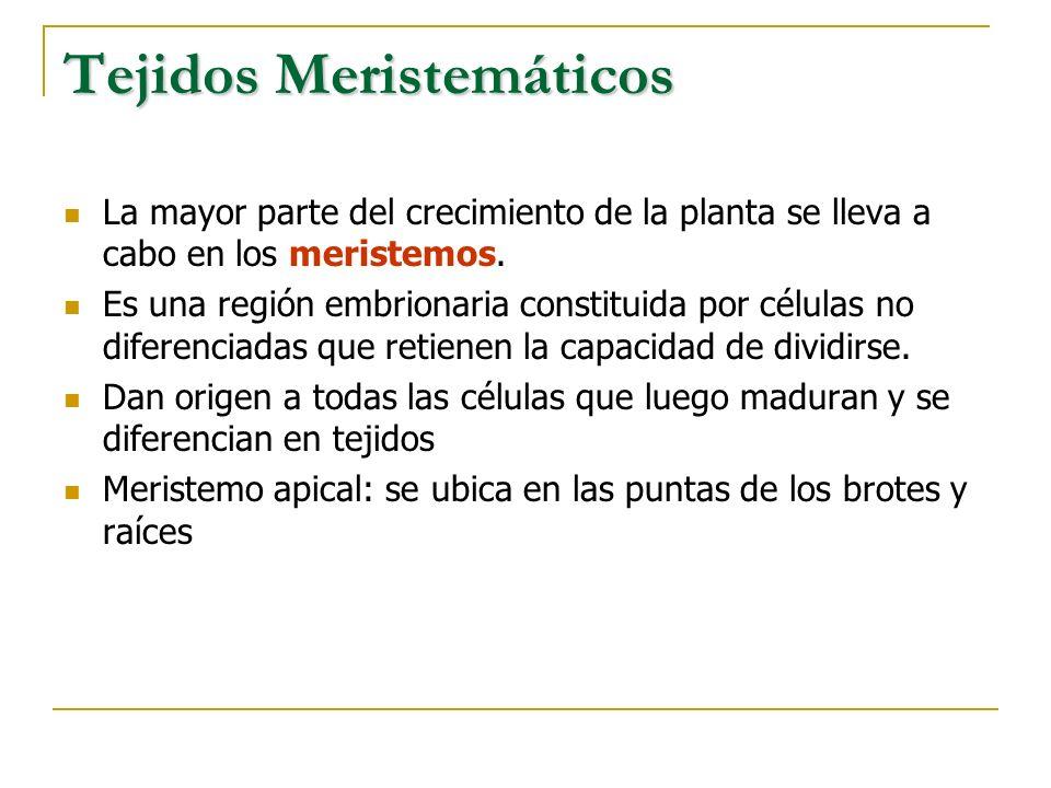Tejidos Meristemáticos La mayor parte del crecimiento de la planta se lleva a cabo en los meristemos. Es una región embrionaria constituida por célula
