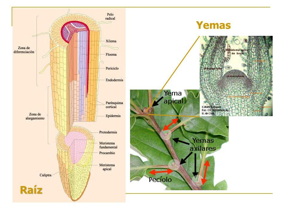 Plantas Superiores Abarcan dos grupos que se distinguen por la manera en que se presentan las semillas: las gimnospermas y las angiospermas Gimnospermas (Coníferas) Presentan semillas descubiertas que se ven en el fruto, con hojas en forma de agujas (cedros), o escamas (ciprés) Son plantas leñosas, crecen como arbustos o árboles y pueden llegar a tamaños gigantescos (pinos, abetos, alerces, araucarias, abedules y cipreses)