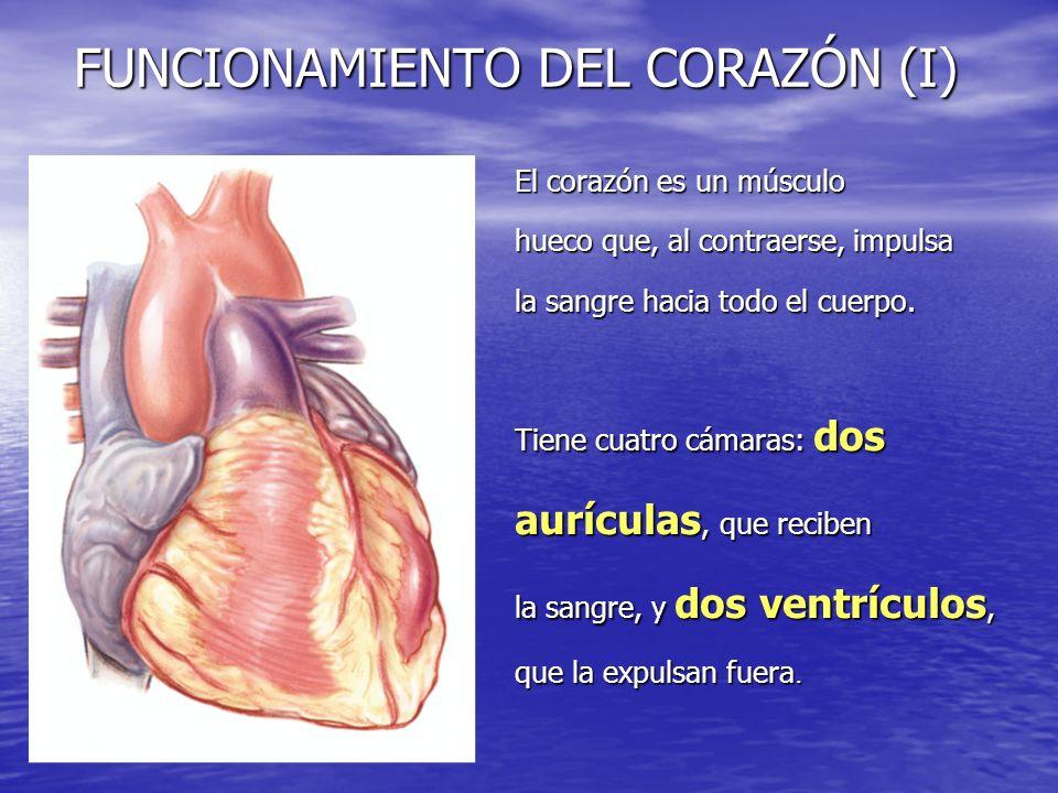 FUNCIONAMIENTO DEL CORAZÓN (I) El corazón es un músculo hueco que, al contraerse, impulsa la sangre hacia todo el cuerpo. Tiene cuatro cámaras: dos au