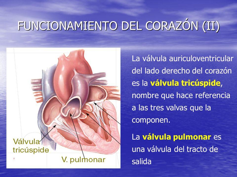 FUNCIONAMIENTO DEL CORAZÓN (II) La válvula auriculoventricular del lado derecho del corazón es la válvula tricúspide, nombre que hace referencia a las