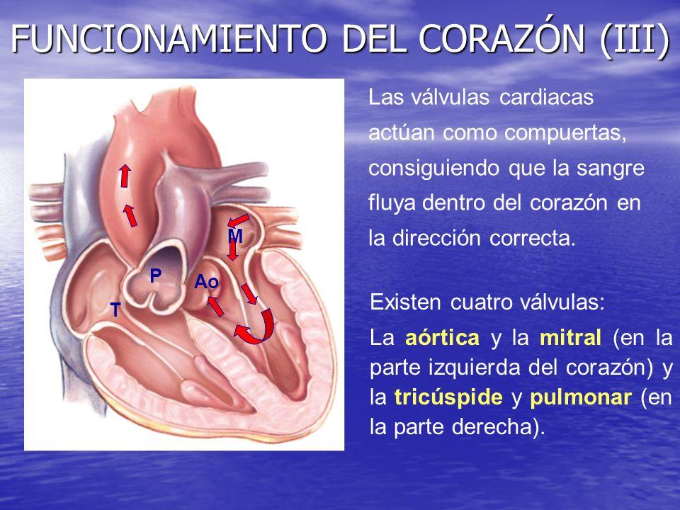 FUNCIONAMIENTO DEL CORAZÓN (III) Las válvulas cardiacas actúan como compuertas, consiguiendo que la sangre fluya dentro del corazón en la dirección co