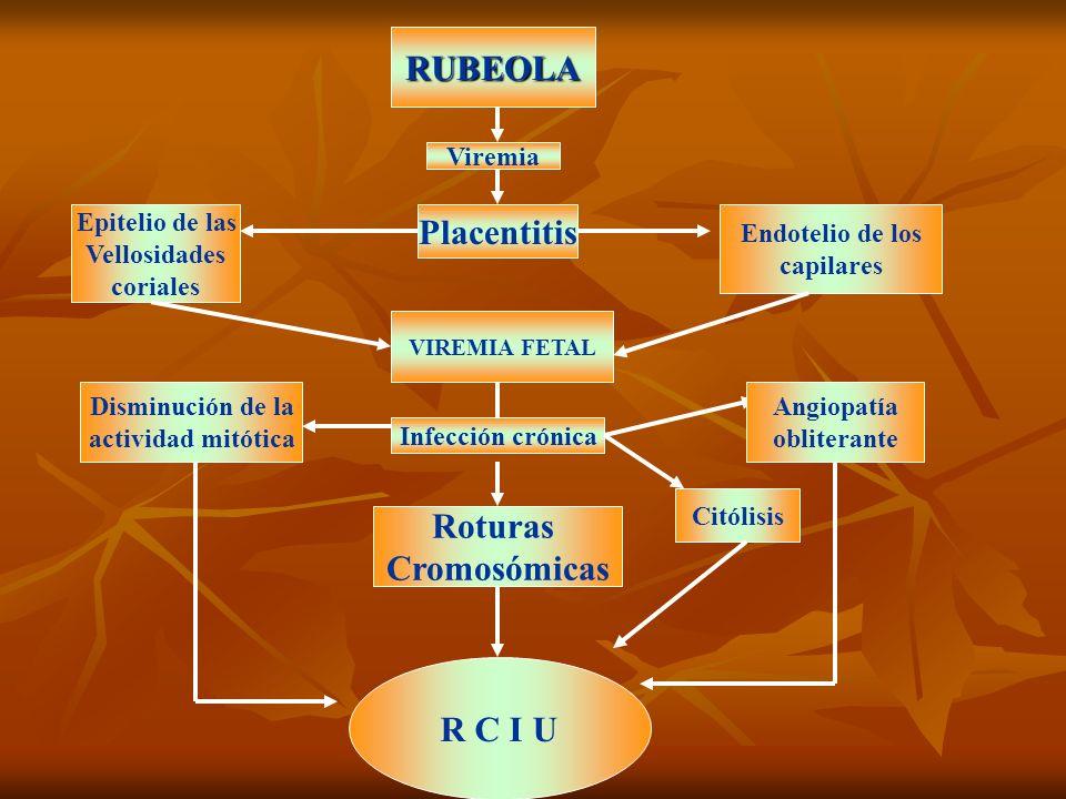 RUBEOLA Viremia Placentitis Epitelio de las Vellosidades coriales Endotelio de los capilares VIREMIA FETAL Infección crónica Angiopatía obliterante Ci