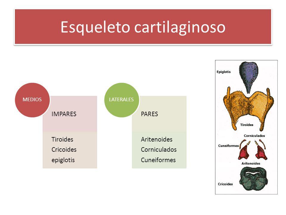 Esqueleto cartilaginoso IMPARES Tiroides Cricoides epiglotis MEDIOS PARES Aritenoides Corniculados Cuneiformes LATERALES