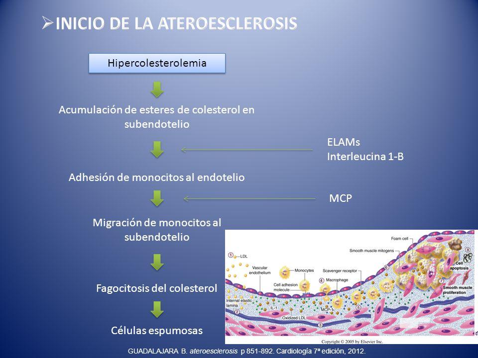 Hipercolesterolemia Acumulación de esteres de colesterol en subendotelio Adhesión de monocitos al endotelio Migración de monocitos al subendotelio Fag