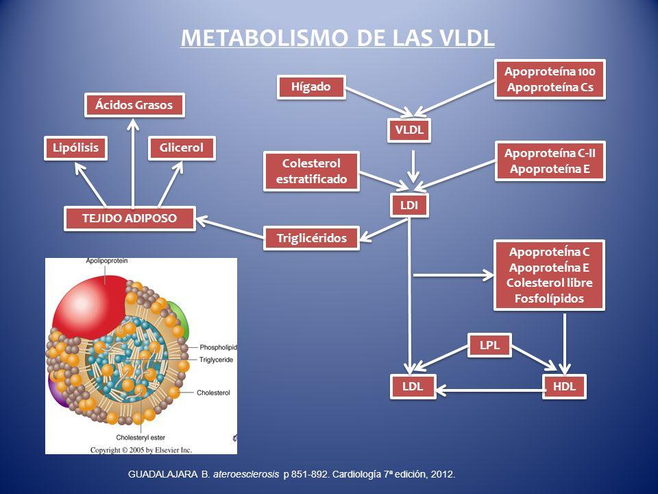 METABOLISMO DE LAS VLDL Ácidos Grasos ApoproteÍna C ApoproteÍna E Colesterol libre Fosfolípidos ApoproteÍna C ApoproteÍna E Colesterol libre Fosfolípi