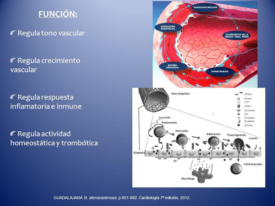 FUNCIÓN: Regula tono vascular Regula crecimiento vascular Regula respuesta inflamatoria e inmune Regula actividad homeostática y trombótica GUADALAJAR