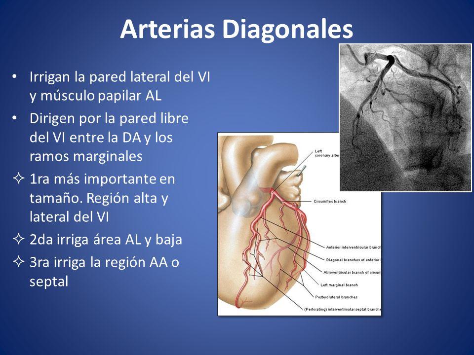 Arterias Diagonales Irrigan la pared lateral del VI y músculo papilar AL Dirigen por la pared libre del VI entre la DA y los ramos marginales 1ra más