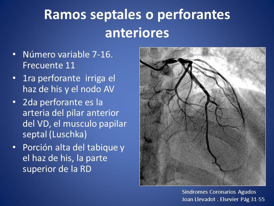 Ramos septales o perforantes anteriores Número variable 7-16. Frecuente 11 1ra perforante irriga el haz de his y el nodo AV 2da perforante es la arter