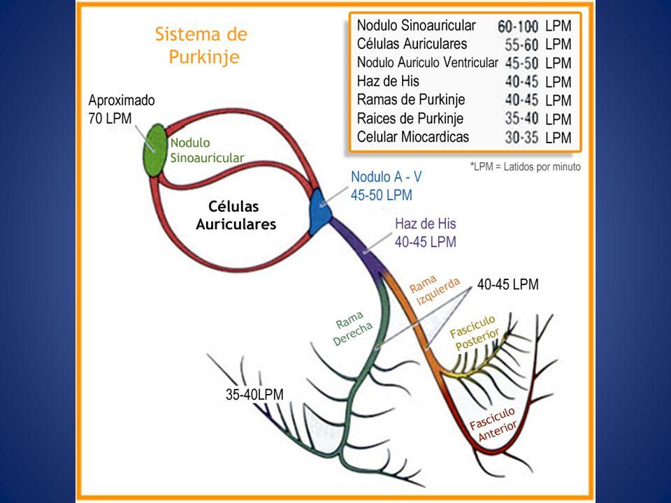 Fases del potencial de acción Tiempo (Mseg) 100 200300400500 Fase 2 Fase 1 Fase 3 Fase 4 Pot.