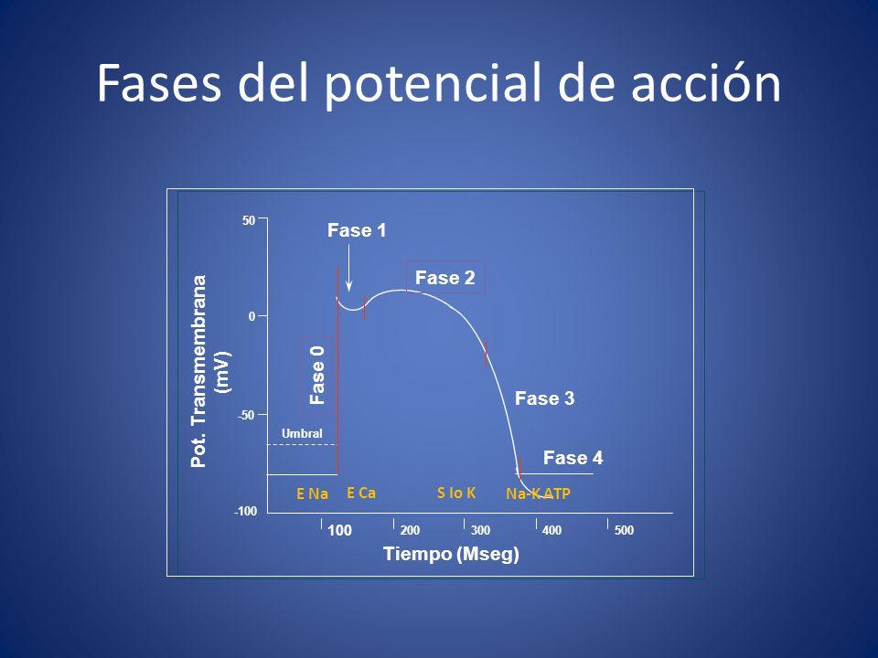 Fases del potencial de acción Tiempo (Mseg) 100 200300400500 Fase 2 Fase 1 Fase 3 Fase 4 Pot. Transmembrana (mV) -50 0 50 -100 Fase 0 Umbral E Na E Ca