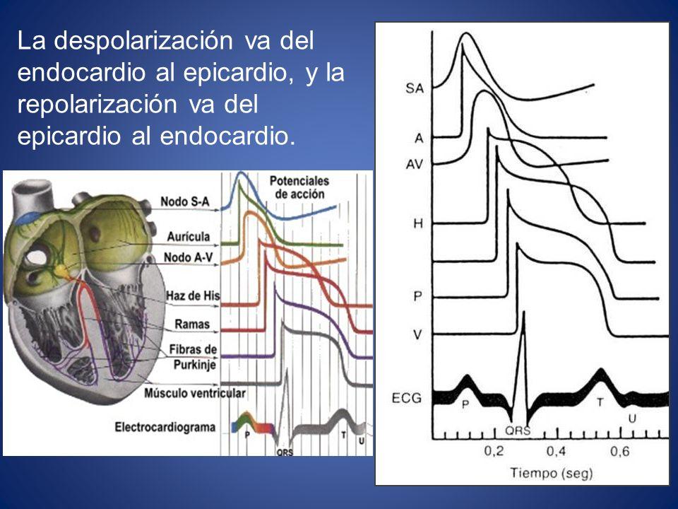 La despolarización va del endocardio al epicardio, y la repolarización va del epicardio al endocardio.