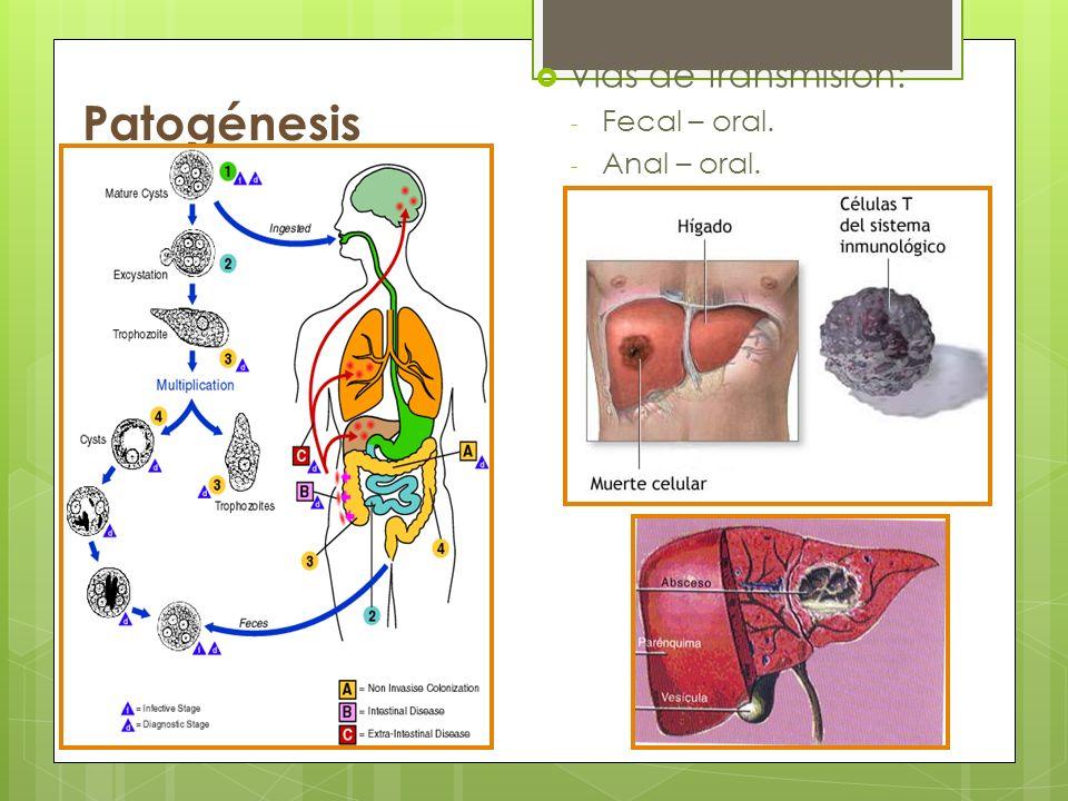 Patogénesis Vías de transmisión: - Fecal – oral. - Anal – oral.