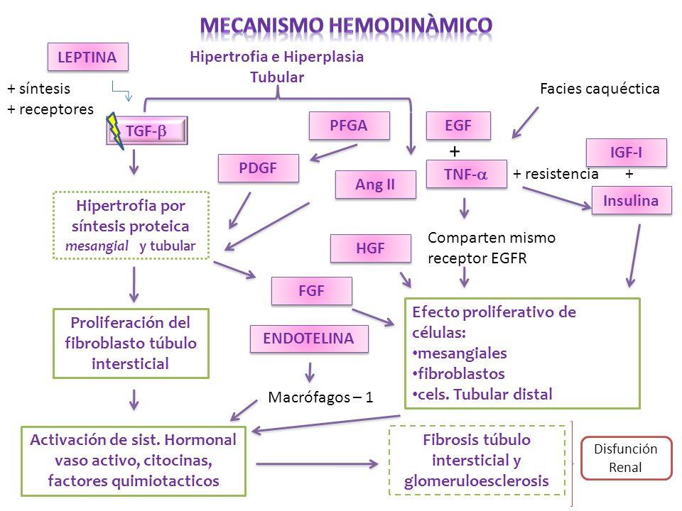 Hipertrofia e Hiperplasia Tubular TGF- PDGF Ang II Hipertrofia por síntesis proteica mesangial y tubular Proliferación del fibroblasto túbulo intersti