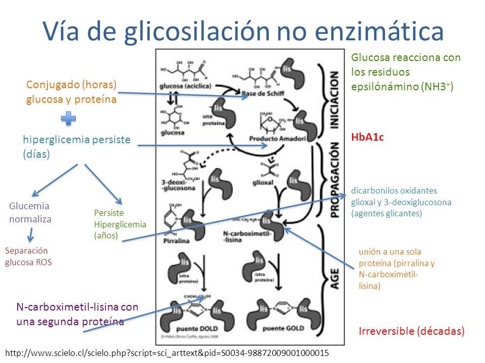 Vía de glicosilación no enzimática Glucosa reacciona con los residuos epsilónámino (NH3 + ) Conjugado (horas) glucosa y proteína hiperglicemia persist