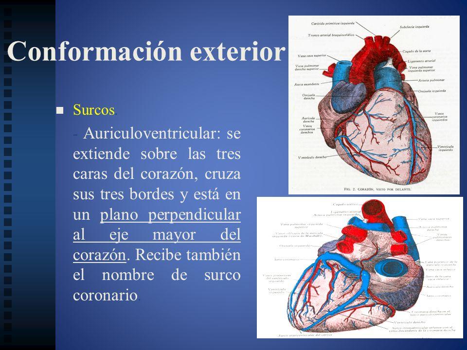 Conformación exterior Surcos. - Auriculoventricular: se extiende sobre las tres caras del corazón, cruza sus tres bordes y está en un plano perpendicu