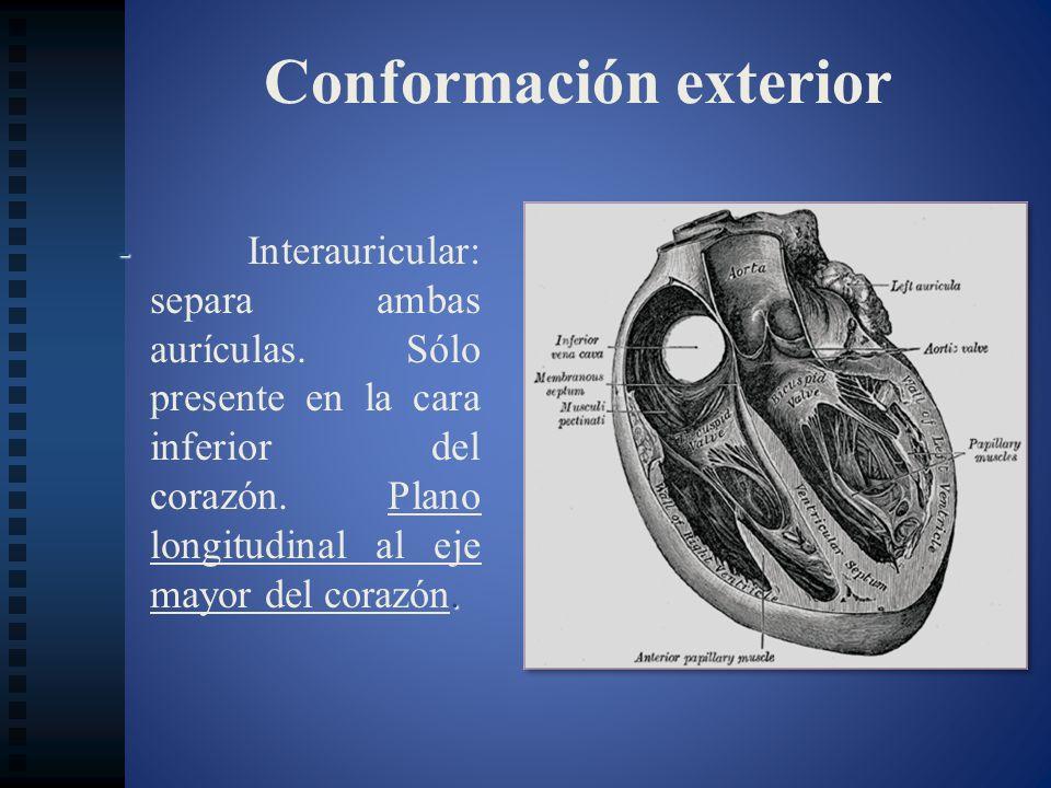Conformación exterior -. - Interauricular: separa ambas aurículas. Sólo presente en la cara inferior del corazón. Plano longitudinal al eje mayor del