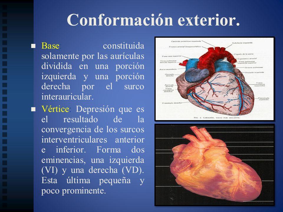 Conformación exterior. Base: constituida solamente por las aurículas dividida en una porción izquierda y una porción derecha por el surco interauricul