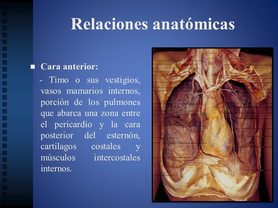 Relaciones anatómicas Cara anterior: - Timo o sus vestigios, vasos mamarios internos, porción de los pulmones que abarca una zona entre el pericardio
