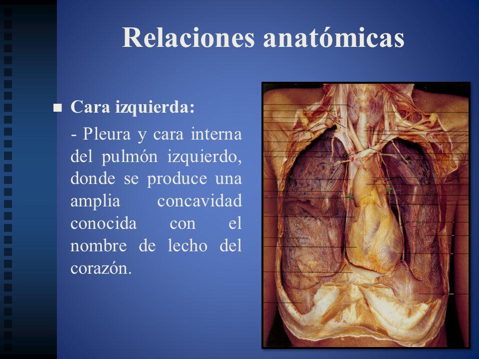 Relaciones anatómicas Cara izquierda: - Pleura y cara interna del pulmón izquierdo, donde se produce una amplia concavidad conocida con el nombre de l