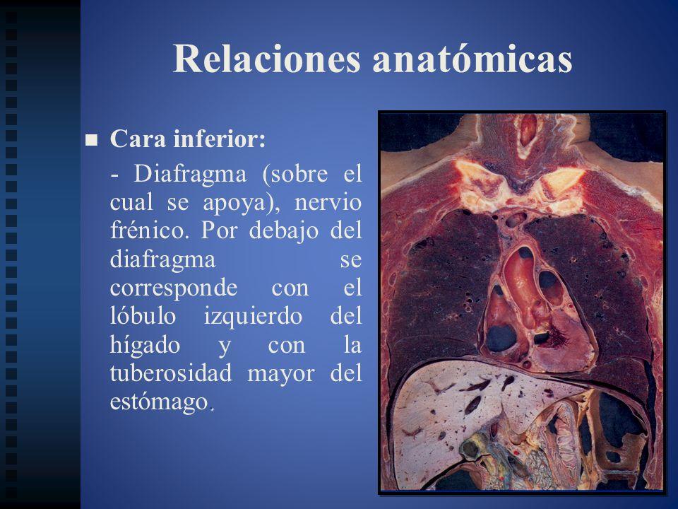 Relaciones anatómicas Cara inferior:. - Diafragma (sobre el cual se apoya), nervio frénico. Por debajo del diafragma se corresponde con el lóbulo izqu