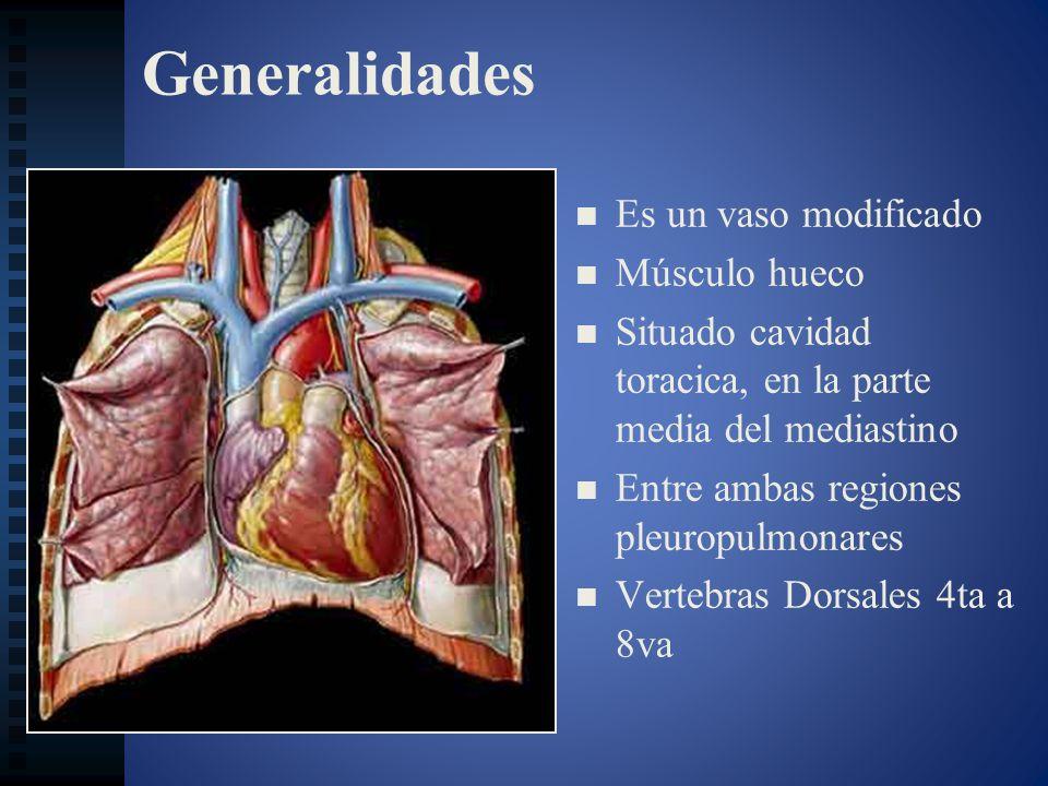 Configuración interior Caracteres comunes a los dos ventrículos: Caracteres comunes a los dos ventrículos: - Orificios auriculoventriculares.