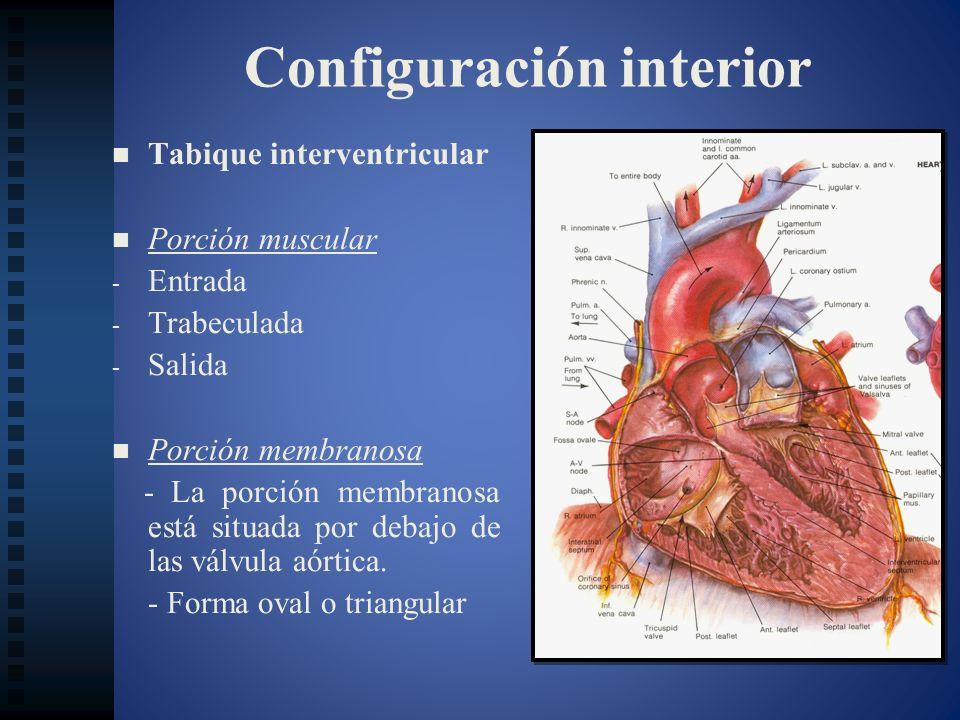 Configuración interior Tabique interventricular Porción muscular - - Entrada - - Trabeculada - - Salida Porción membranosa - La porción membranosa est