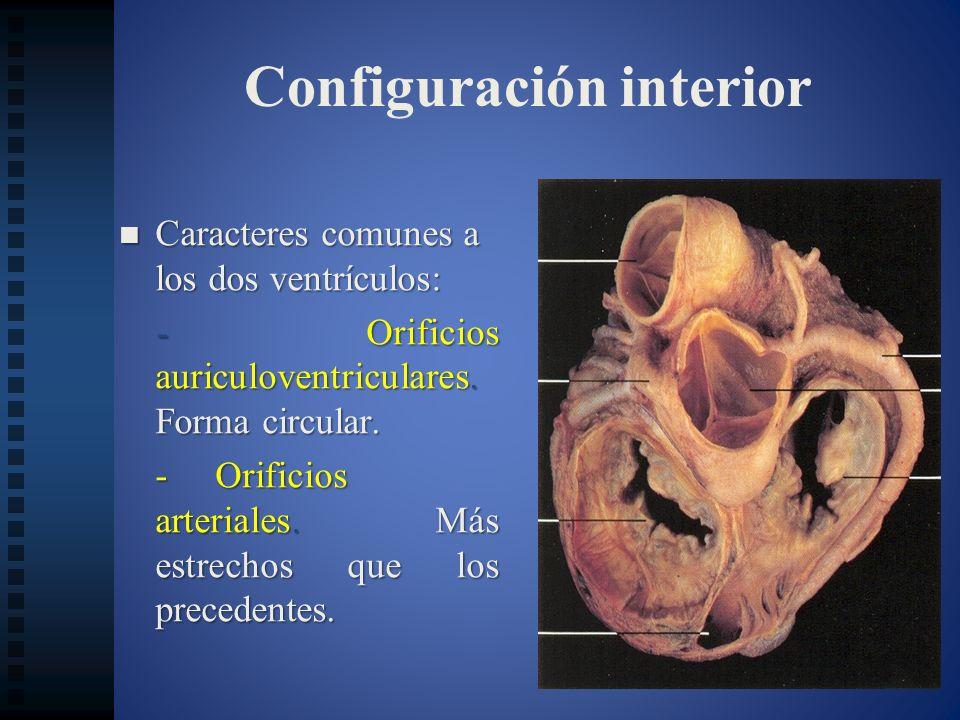 Configuración interior Caracteres comunes a los dos ventrículos: Caracteres comunes a los dos ventrículos: - Orificios auriculoventriculares. Forma ci