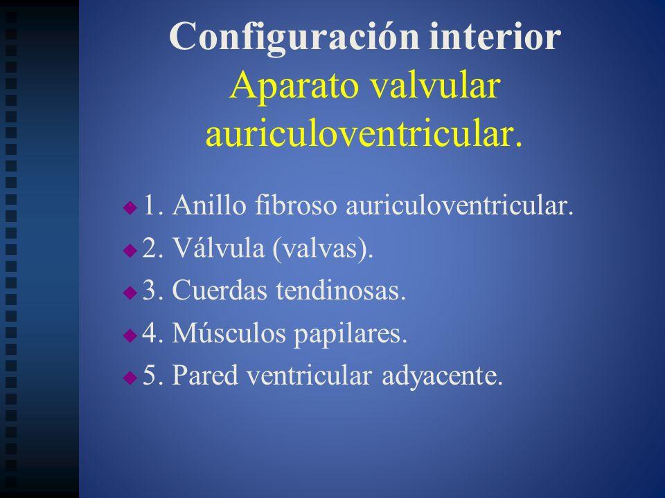 Configuración interior Aparato valvular auriculoventricular. 1. Anillo fibroso auriculoventricular. 2. Válvula (valvas). 3. Cuerdas tendinosas. 4. Mús