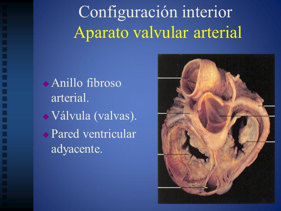 Configuración interior Aparato valvular arterial Anillo fibroso arterial. Válvula (valvas). Pared ventricular adyacente.