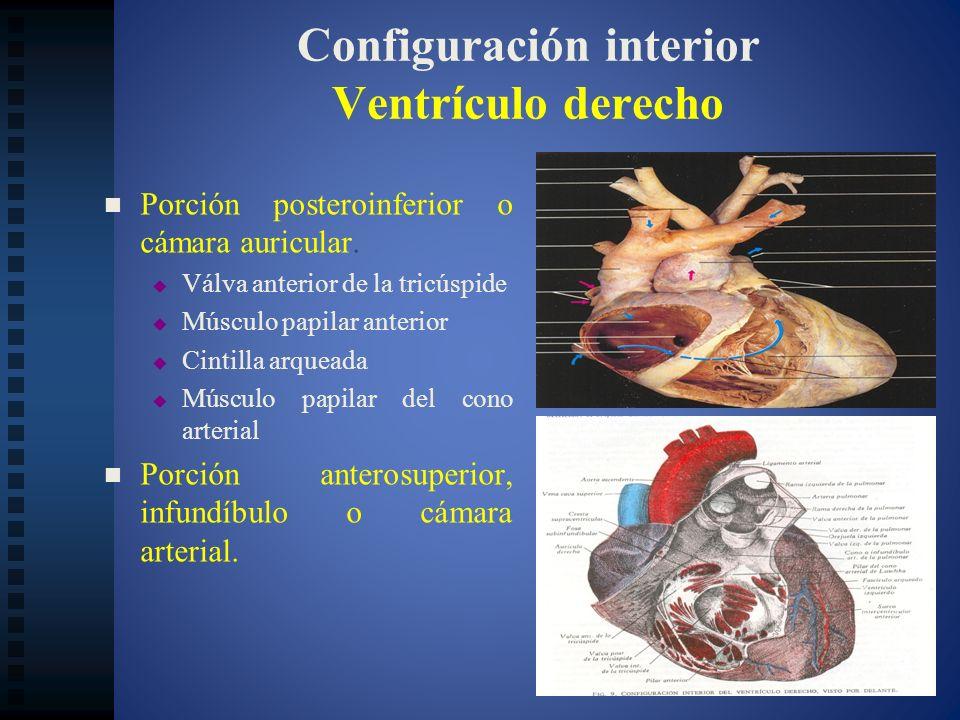 Configuración interior Ventrículo derecho Porción posteroinferior o cámara auricular. Válva anterior de la tricúspide Músculo papilar anterior Cintill