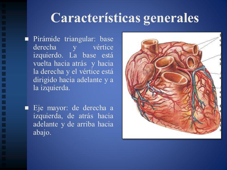 Conformación exterior La conjunción entre el surco auriculoventricular, el surco interventricular inferior y el surco interauricular constituye a la cruz del corazón.