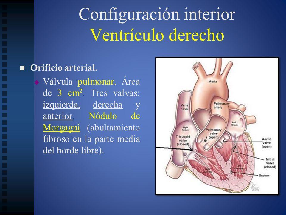 Configuración interior Ventrículo derecho Orificio arterial. Válvula pulmonar. Área de 3 cm 2. Tres valvas: izquierda, derecha y anterior. Nódulo de M