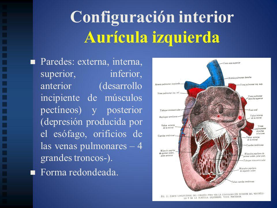 Configuración interior Aurícula izquierda Paredes: externa, interna, superior, inferior, anterior (desarrollo incipiente de músculos pectíneos) y post