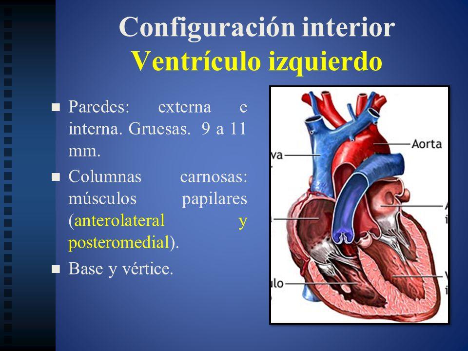 Configuración interior Ventrículo izquierdo Paredes: externa e interna. Gruesas. 9 a 11 mm. Columnas carnosas: músculos papilares (anterolateral y pos