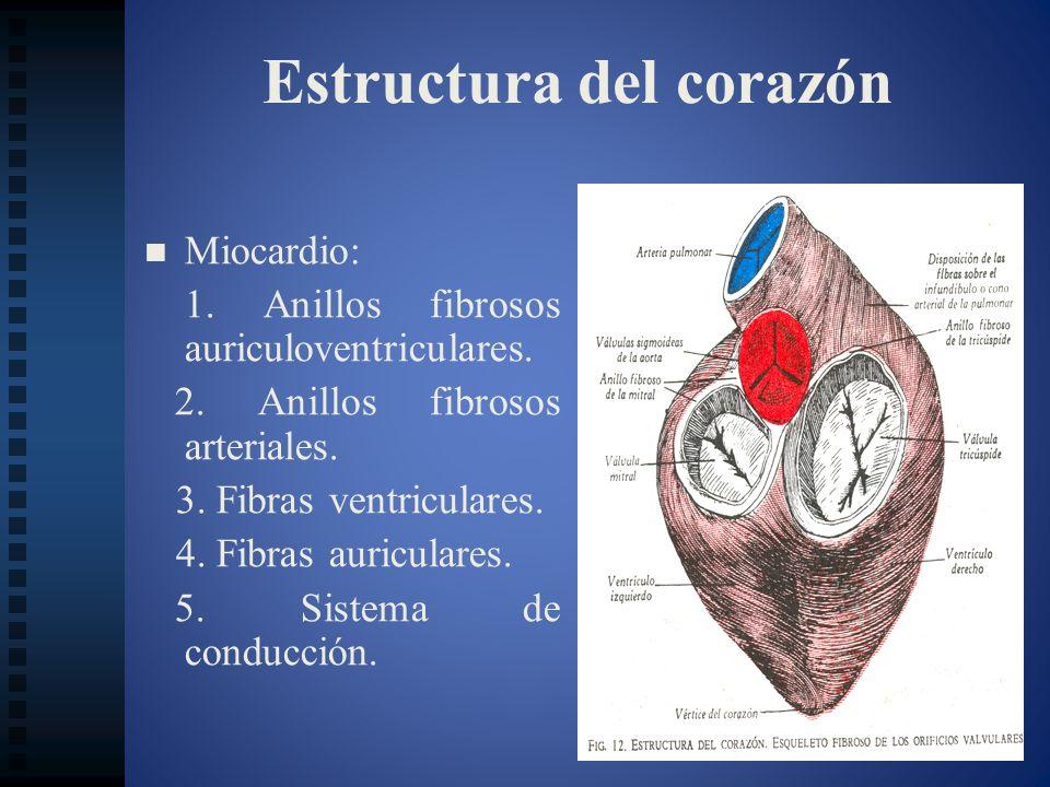 Estructura del corazón Miocardio: 1. Anillos fibrosos auriculoventriculares. 2. Anillos fibrosos arteriales. 3. Fibras ventriculares. 4. Fibras auricu