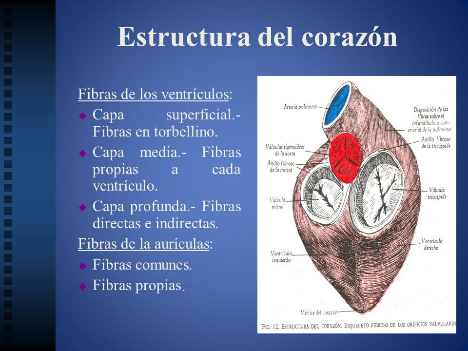 Estructura del corazón Fibras de los ventrículos: Capa superficial.- Fibras en torbellino. Capa media.- Fibras propias a cada ventrículo. Capa profund