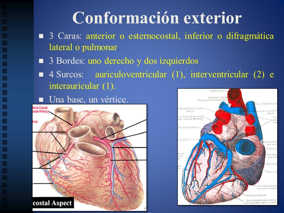 Conformación exterior 3 Caras: anterior o esternocostal, inferior o difragmática lateral o pulmonar. 3 Bordes: uno derecho y dos izquierdos. 4 Surcos: