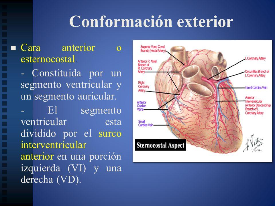 Conformación exterior Cara anterior o esternocostal. - Constituida por un segmento ventricular y un segmento auricular. - El segmento ventricular esta